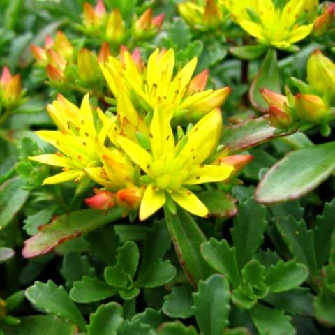 Очиток желтый               Sedum   aizoon