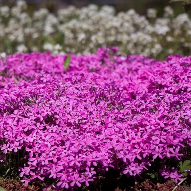 Флокс шиловидный розовый