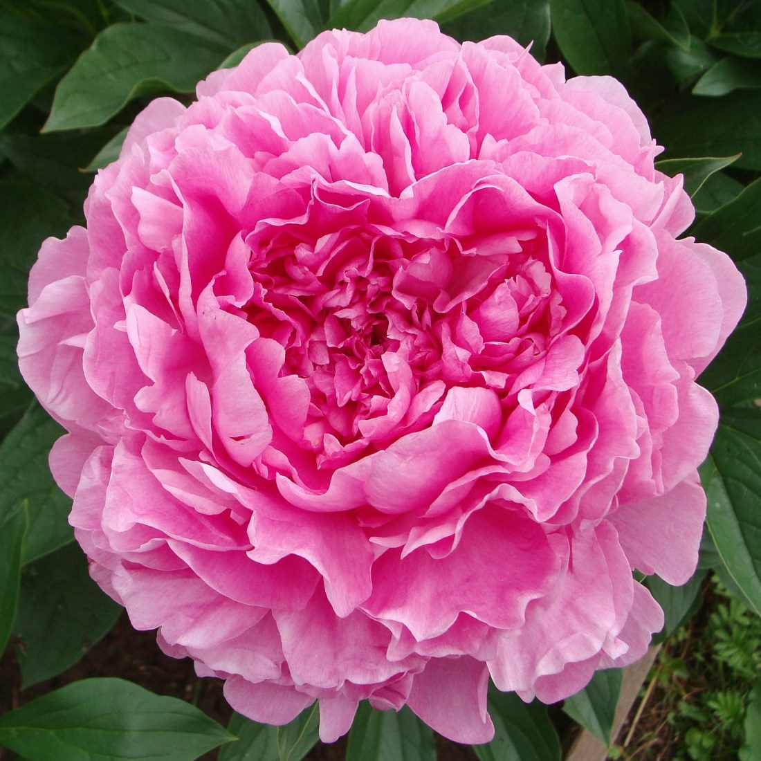 Пион Vivid Rose (корневища)